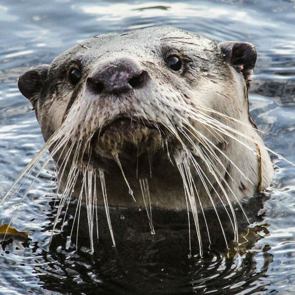 A Cape clawless otter, regularly encountered by Craig during his dives around the Cape peninsula.
