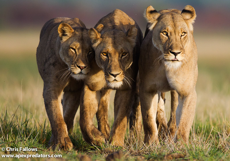 The three lionesses which Chris Fallows photographed in Central Kalahari. They walked right past him as he was lying on the ground taking photos...