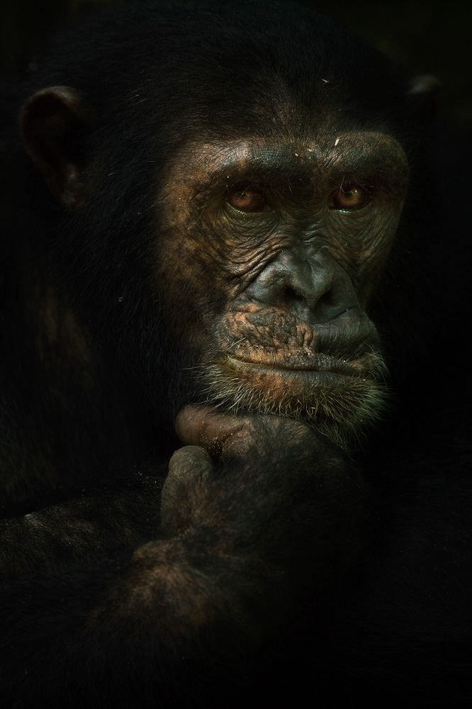 A chimpanzee in the Mahale Mountains of Tanzania - Image copyright Greg du Toit.