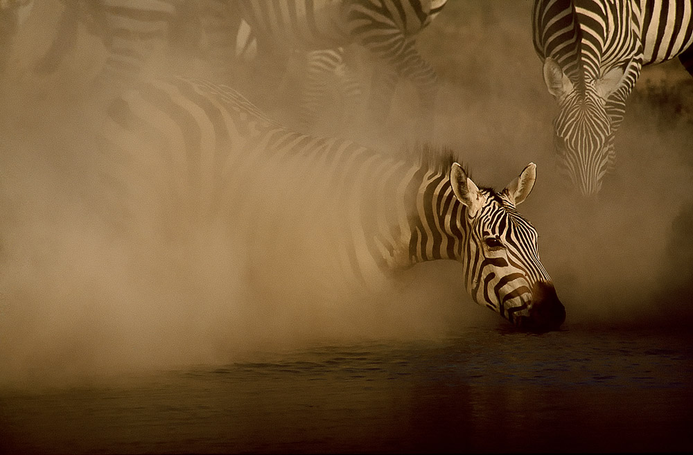 One of Greg's many award-winning photographs. Zebras drinking from a waterhole.