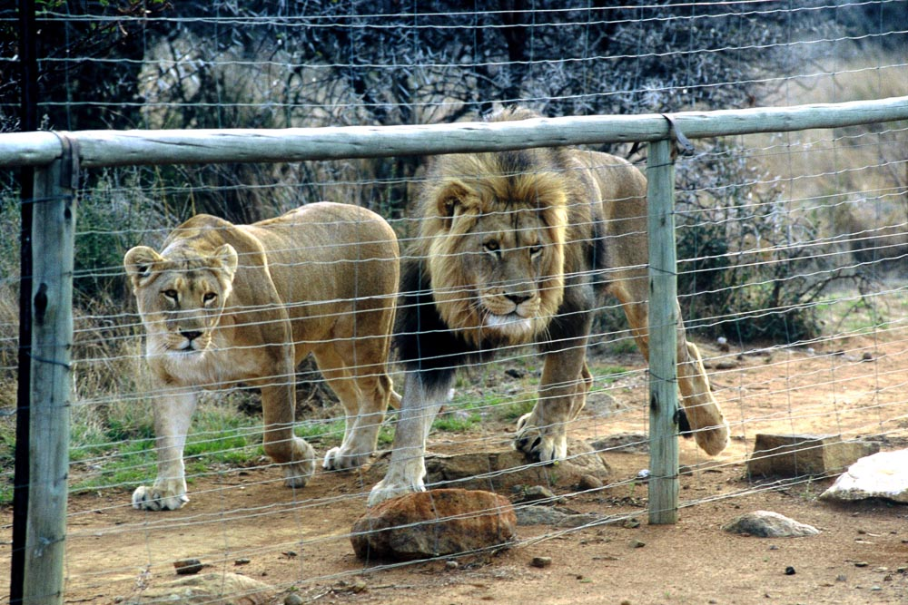 Captive lions bred for hunting in South Africa - copyright image Ian Michler.