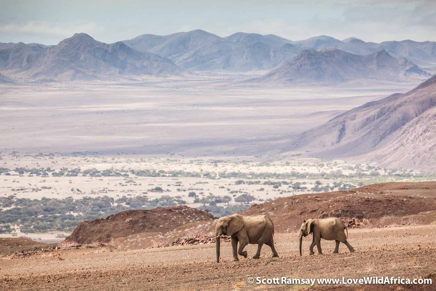 Desert-adapted elephants in northwest Namibia
