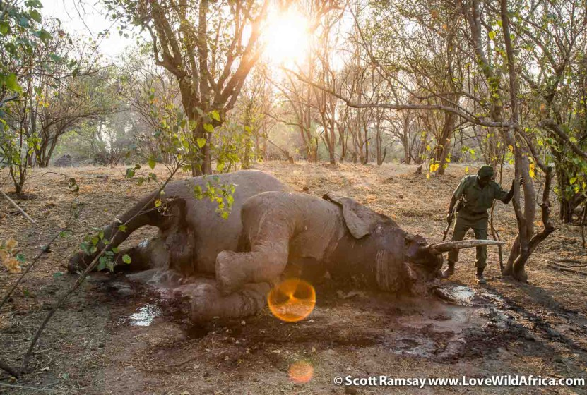 A ranger in the Zambezi Valley inspects a dead elephant, which perished due to natural causes. As many as 30 000 elephants annually in Africa are killed by poachers for their ivory.