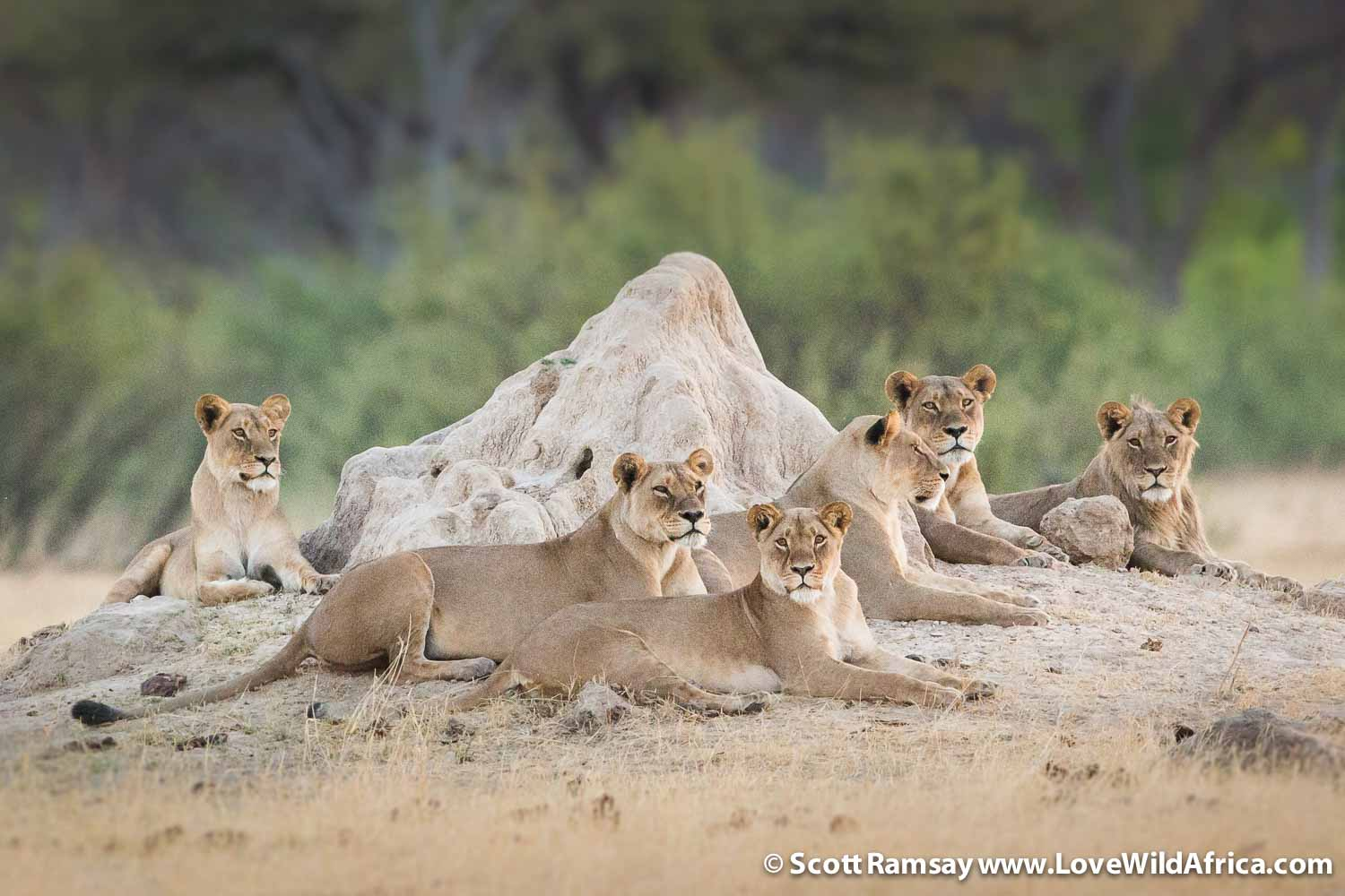 Part of a super pride of lions, which were watching us within metres of Linkwasha Camp.
