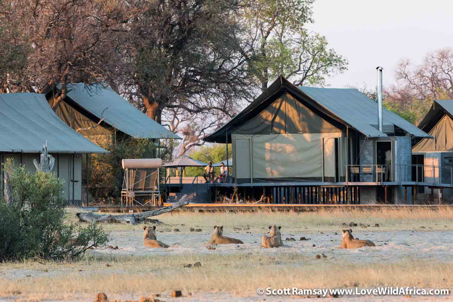 There are no fences around any of the Wilderness Safaris' camps in Hwange, and lions have right of way! Careful where you walk after sunset...