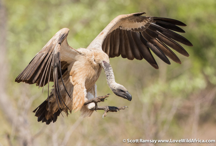 Cape vulture - Scott Ramsay - Kruger National Park