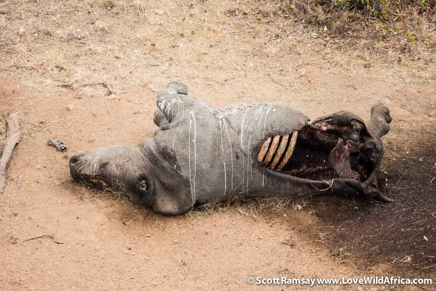 Kruger National Park in South Africa. An aerial photograph taken from a helicopter of a dead white rhino (Ceratotherium simum), killed by poachers for its horn.