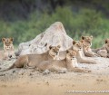 Lions in Hwange - Scott Ramsay