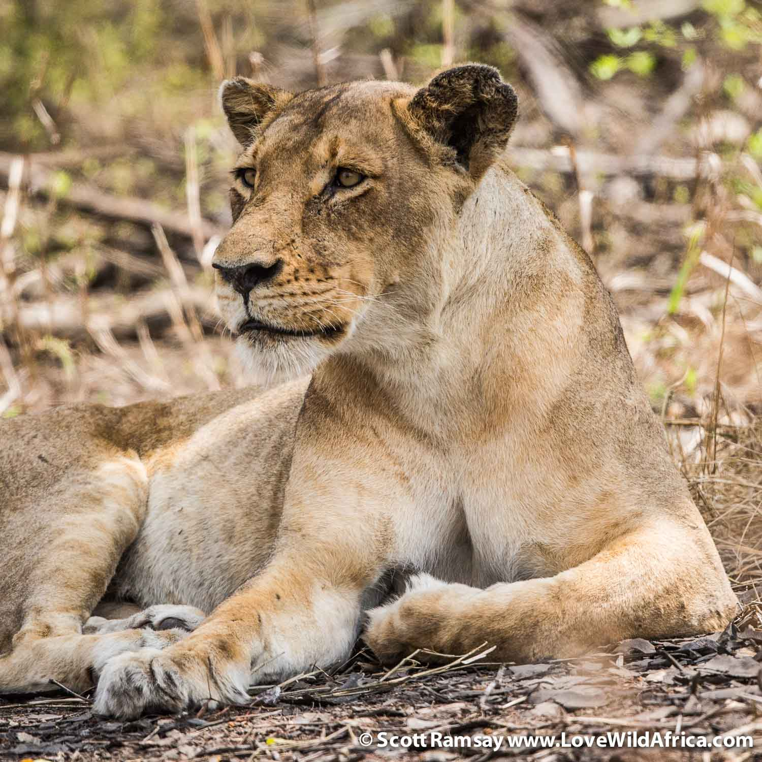 The lions of Gorongosa have always been here. Unlike spotted hyaenas and wild dogs, they weren't wiped out by the civil war. Today there are about 70 lions that researchers have documented, and there have been no introductions of lions from other parks. Yet, interestingly, despite no competition from other large predators like hyaenas, the lion population doesn't seem to be growing. Researcher Paula Bouley is at the forefront of the effort to understand the behaviour and biology of the lions of Gorongosa.