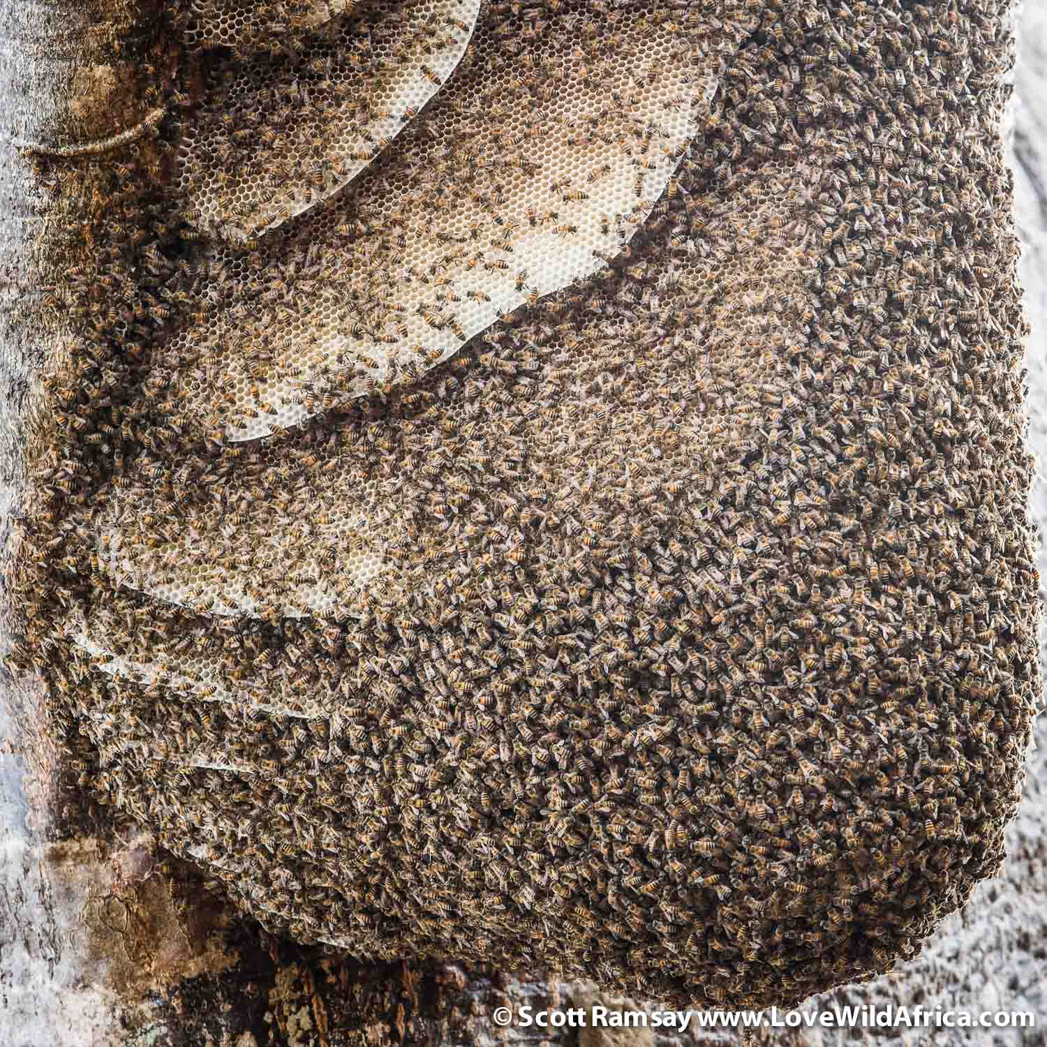 Wildness comes in many forms, and for me, it is represented not only in lions and elephants and other charismatic species, but also insects like this wild bee hive which we saw hanging from a tree. Remarkable to witness!