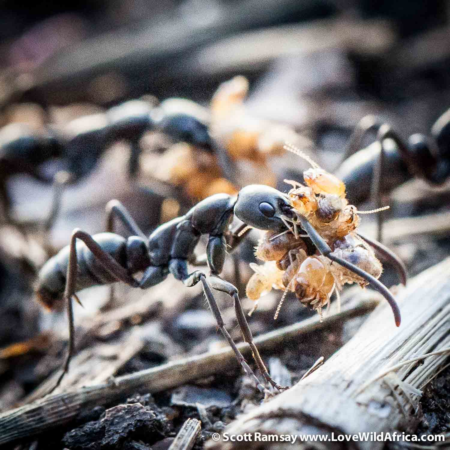 Gorongosa has an extensive insect fauna, and has drawn great admiration from eminent biologist EO Wilson, who has visited the park several times and has mentored several young local biologists. We came across these Matabele ants one afternoon, as they were raiding a termite nest. To me, watching these remarkable insects was as intriguing as watching lions on a hunt.