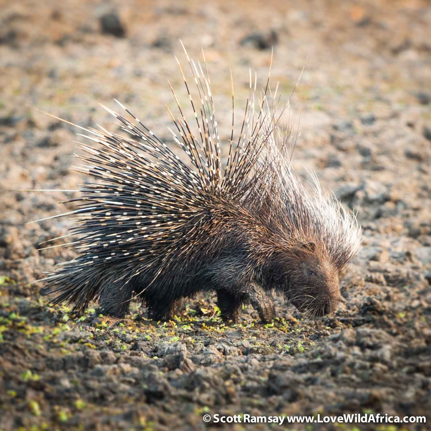 On one of the guided game drives in the late afternoon, we came across this porcupine near a waterpan. My first daylight sighting of one of these nocturnal creatures.